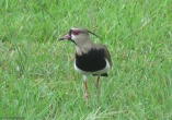 According to my bird book, this is a southern lapwing.