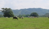 Cows in the beautiful fields are a common sight in this area.