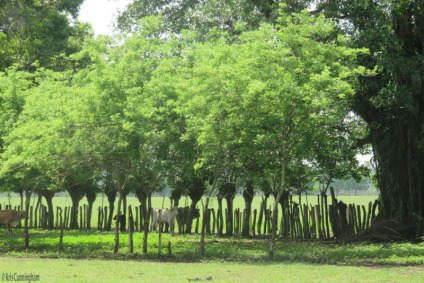 The living fences are green and the cows enjoy the shade.