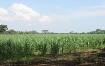 The sugar cane is starting to get tall again.