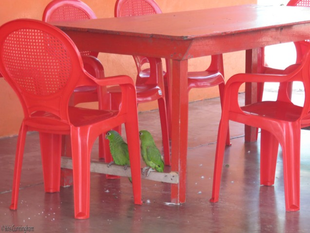 There is a little fonda on the beach where I stopped for a drink and a rest. These parrots were playing under a table.