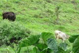 The calves were in the field below so I tried to catch some of them with my camera.