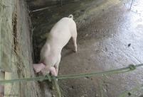 One more piglet next door. They have grown since I saw them last.