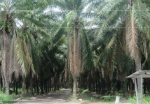 there were roads leading into the palm trees that looked like they led back into the depths of the shady palm plantations. From the bus stops and signs, there are homes and whole town back in the palms