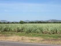 more sugar cane