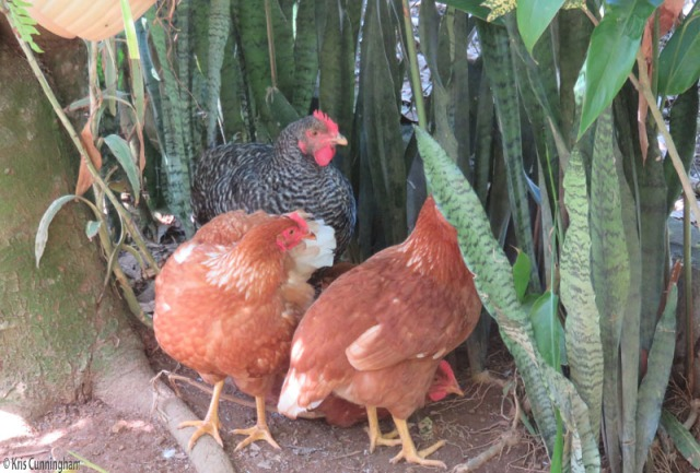 The hens hang out in the shade of the plants.