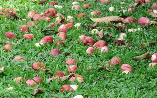 Mariñon Corizon fruit on the ground.