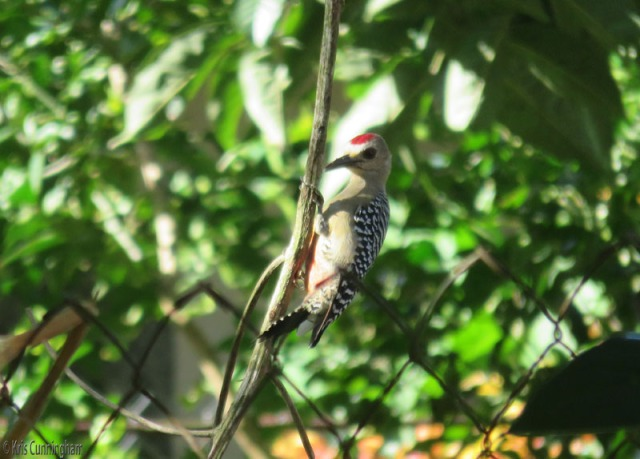 This woodpecker spent quite a bit of time pecking on this little twig hanging from the neighbor's tree.
