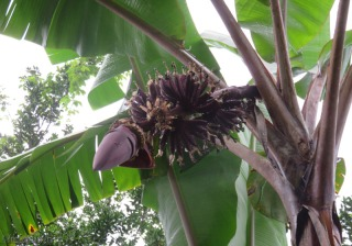 Wednesday 8/26. It is now only a week since we got our first peek at the baby bananas. Look how big they are now!