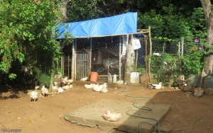 The chickens were out and about this morning