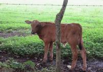 sweet little calf