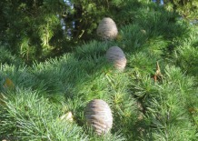 These pine cones remind me of bee nests we see in Panama