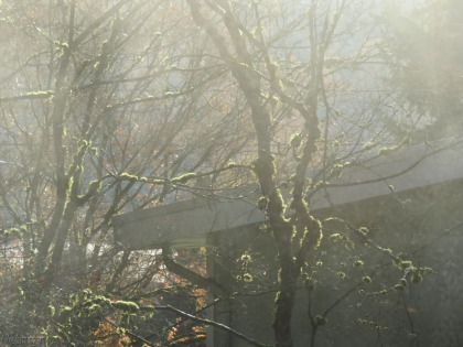the neighbors trees covered with plants and moss, seen through the chilly morning fog