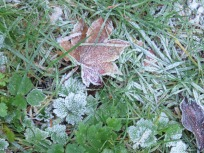 more frost covered leaves