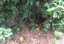 You can certainly see the lemons on the lower branches though, and the fruit that has fallen on the ground.
