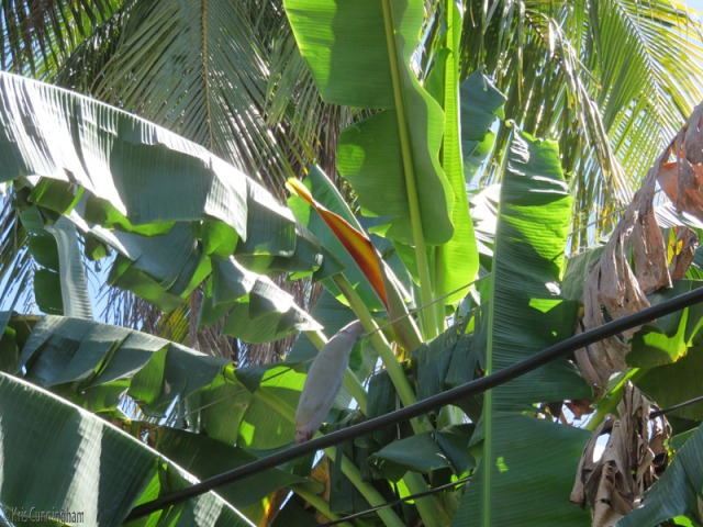 Coming back through town, the red/orange part of this banana flower caught my eye.