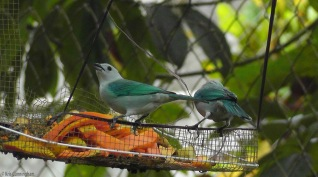 A pair of blue-grey tanagers are attracted by the papaya