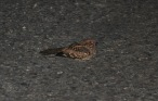 These nightjars like to sit under the street lamps and jump up for the bugs that are attracted by the light. I like hearing their calls in the night