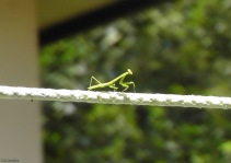 Sometimes I see a little praying mantis on the clothesline