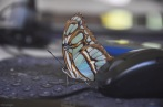 beautiful butterfly on my mouse pad