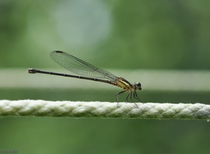The dragonflies seem to love the clothesline