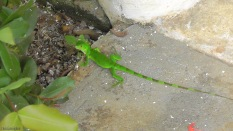 A baby iguana was on the terrace