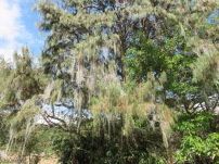 Spanish moss is not a common sight in Panama but this pine tree was full of it