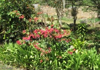 A red poinsettia was in bloom