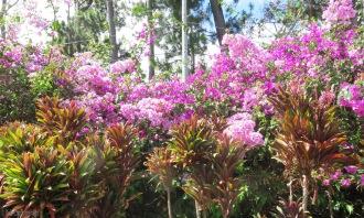 Bougainvillea in full bloom