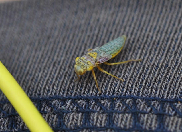 This tiny little bug climbed up my leg and on to my shorts. That's the wire to my headphones on the left. I didn't realize how very interesting it was until I saw the enlarged photos on my computer.