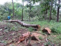 This is one of the teak trees on the ground ready to be taken out