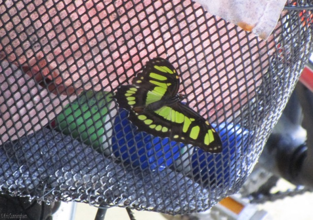 the butterfly came back and landed on my bicycle basket