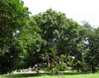 This is a huge mango tree in a vacant lot in the neighborhood. It isn't fruiting at the moment but when it does, it gives really big, red, delicious mangoes.