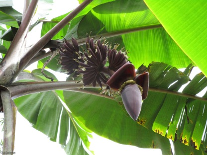 Our latest crop of bananas is coming along