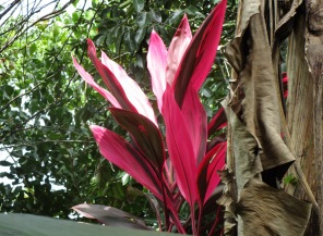 A red ti plant an some brown banana leaves