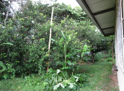 The top of the papaya tree is laying on the ground