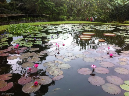 When you arrive, one of the first things you see is this amazing water lily pond. I had two large ponds in Florida and love water lilies, so I was very excited to see these.