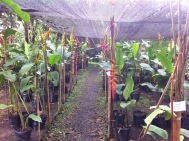 The heliconia sale area. There was a flower on each stick, and the corresponding plants were behind the sticks so it was easy to identify the various types for sale.