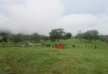 I return to find many cows in the field peacefully sharing it with the hikers