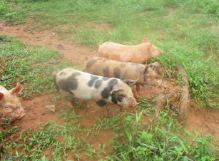 Then, the rest of the piglets approach