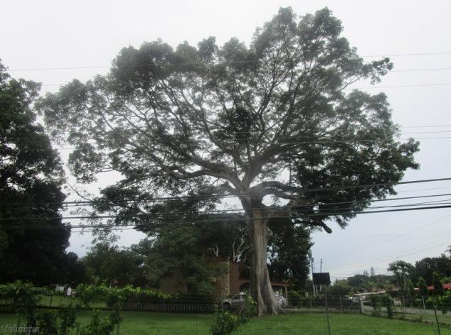 My favorite tree, still massive and majestic!