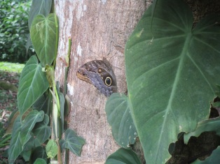 A beautiful owl butterfly on a tree