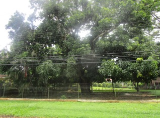 One of the many huge mango trees in the area