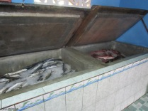 Coolers full of pargo, corvina, sierra and others