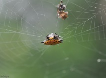 These interesting spiders spin webs quite frequently in our yard.