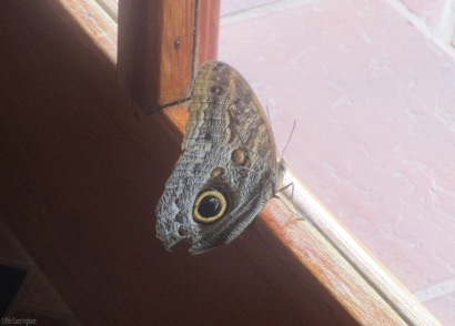 This beautiful butterfly was at my friend's house looking our the window