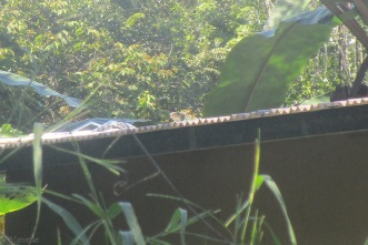 Nothing like an iguana on a metal roof to make you wonder what is stampeding across your house! He ducked down when he saw me but you can still see his head right in the middle of the picture