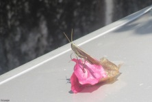 This grasshopper was on a fallen flower on my car