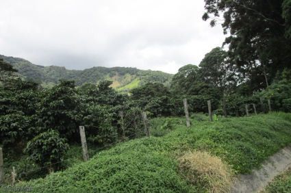 We passed green mountains and lot of coffee plants like these on the left