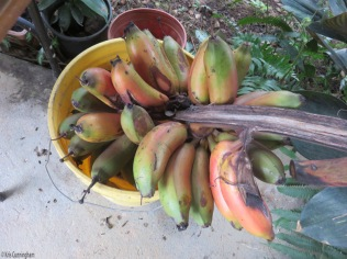 We also cut down our fruiting banana tree on 6/13 and got a big bunch, enough to eat, freeze, and share with the neighbors.